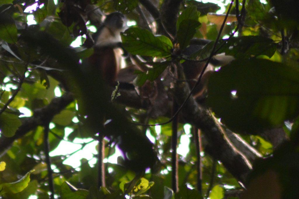 Niger Delta Red Colobus Monkey 2