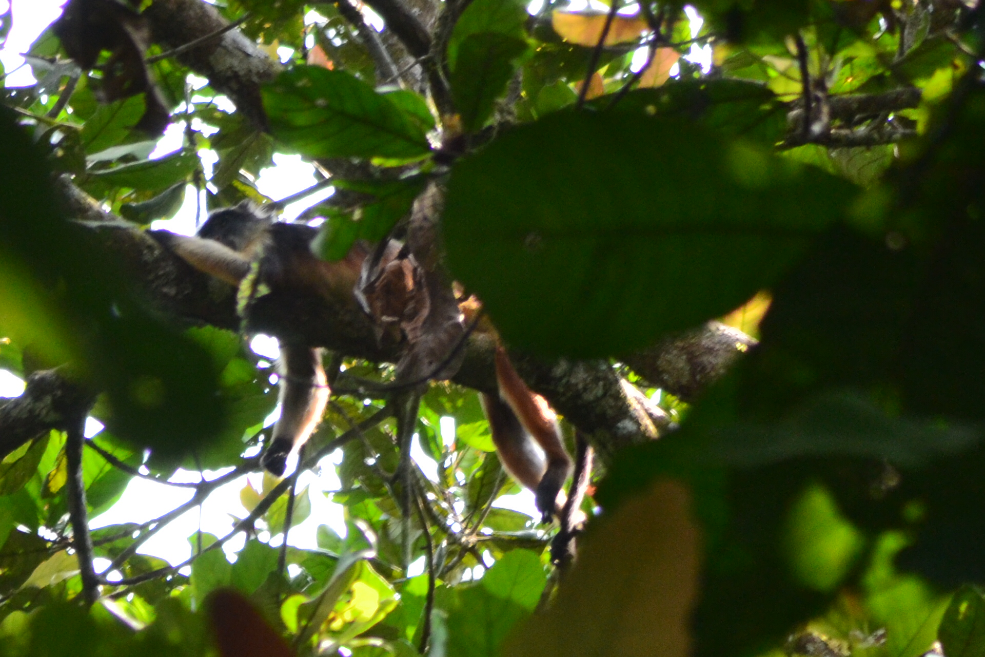 Niger Delta Red Colobus Monkey 3