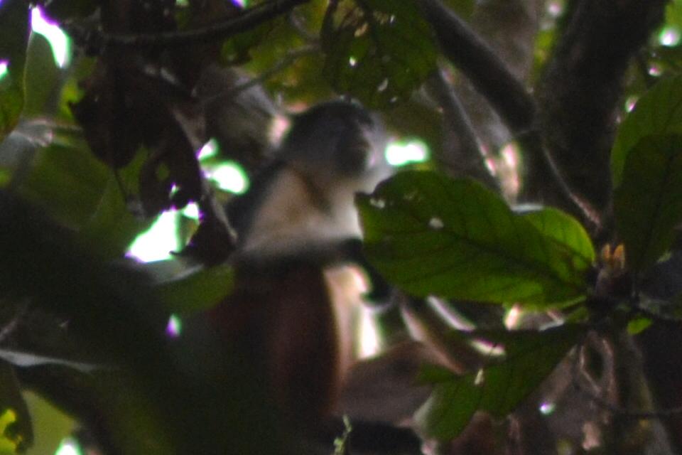 Niger Delta Red Colobus Monkey